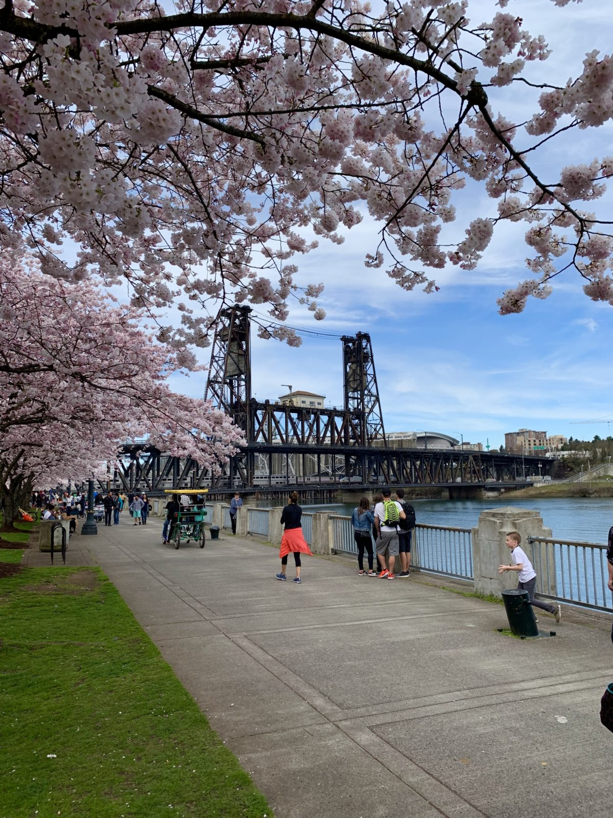 Visiting the Cherry Blossoms in Portland